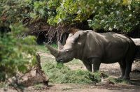 Murió el rinoceronte blanco más viejo del mundo a sus 54 años